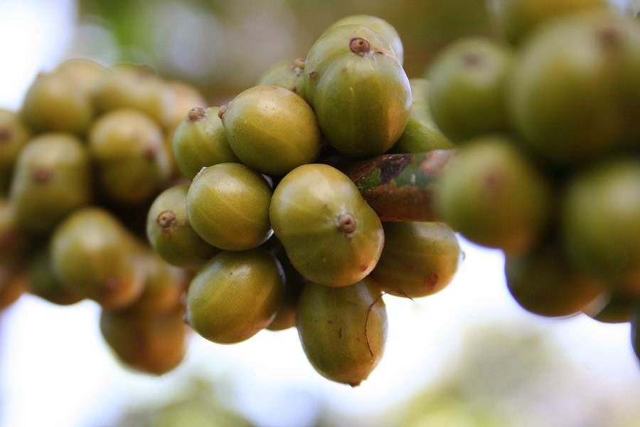 pianta-del-caffe
